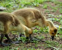Baby Gosling. Cute and Fuzzy Little Baby Gosling Royalty Free Stock Photos