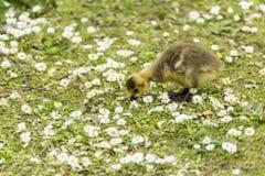 Baby Gosling, der für Nahrung aus den Grund unter einem Meer von Gänseblümchen pickt stockfotografie