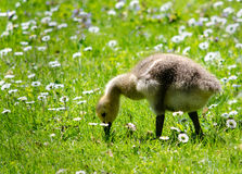 Baby gosling in field of flowers Stock Photos