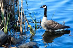 A baby gosling flaps its` wings as the mother watches Stock Images