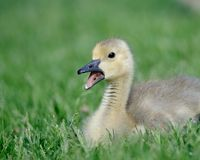 Baby gosling in the grass Royalty Free Stock Photos