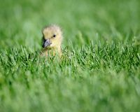 Baby gosling in the grass Royalty Free Stock Photography