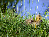 Baby gosling hiding in the tall grass Royalty Free Stock Image