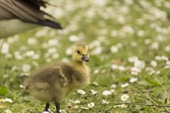 Baby Gosling Looking Around For What Made A Sound royalty free stock photo