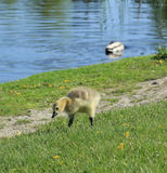 Baby gosling. Looking for a snack Royalty Free Stock Photo