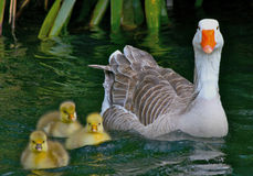 Baby gosling with mother goose. 3 adorable baby gosling and mother goose, all staring directly at the camera Stock Photo