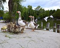 Baby gosling with mother goose. Baby goslings with mother goose near lake, in the park stock image