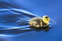 A baby gosling swims in mirror blue water stock photo