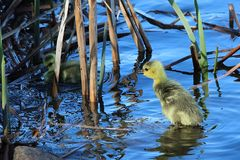 A baby gosling watches its` sibling swimming in the reeds Stock Photography