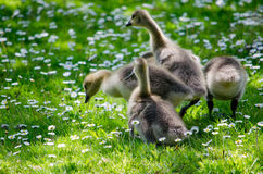 Baby goslings play in a  field of flowers Royalty Free Stock Photography