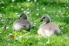 Baby goslings play Stock Photo