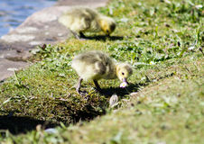 Baby Goslings Stock Image