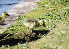 Baby Goslings Royalty Free Stock Photos