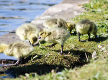 Baby Goslings Royalty Free Stock Photography