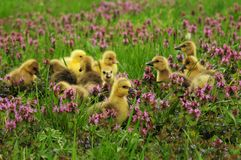 Baby goslings in spring grass Royalty Free Stock Photos