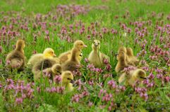 Baby goslings in spring grass Stock Photography