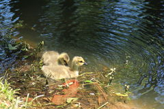 Baby goslings try out their new legs Royalty Free Stock Photo