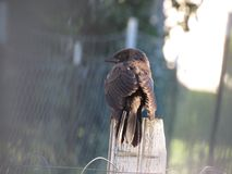 Baby Grackle. Baby common grackle perched on fence post Royalty Free Stock Photography