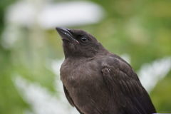 Baby grackle in the garden. Royalty Free Stock Images