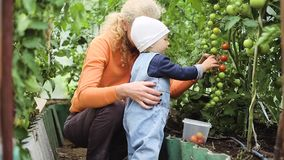 Baby and grandmother is picking tomatoes stock footage