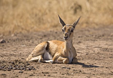Baby grant gazelle Stock Photography