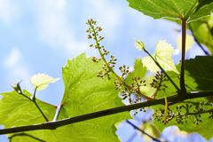 The initial development of the grapes. Young branch of grapes on the nature. stock images