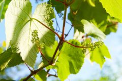 Baby Grapes. Closeup of view in beginning stage. Green flowers. royalty free stock photo