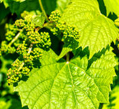 Baby grapes on the vine in spring Royalty Free Stock Image