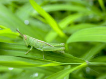 BABY GRASS-HOPPER. BABY GRASSHOPPER SITTING ON GRASS STARTED TO EAT Royalty Free Stock Image