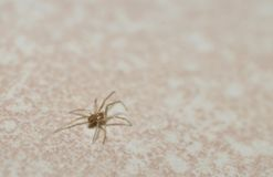 A baby grass spider on a white background Royalty Free Stock Photos