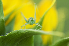 Baby grasshoper in a leaf Royalty Free Stock Images