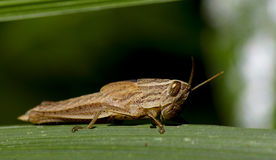 Baby Grasshopper Royalty Free Stock Image
