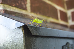 Baby grasshopper on a black mailbox Royalty Free Stock Images