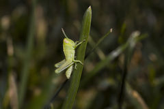 Baby Grasshopper on a blade of grass Royalty Free Stock Photos