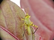 Baby Grasshopper royalty free stock photography