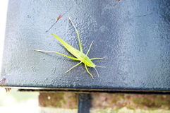 Baby grasshopper on a mailbox Royalty Free Stock Image