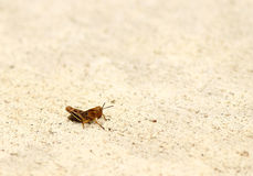 Baby Grasshopper. A baby grasshopper sitting on the sidewalk royalty free stock photos