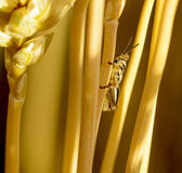 Baby Grasshopper on Wheat Royalty Free Stock Images