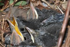 Baby Gray Catbird (Dumetella carolinensis). In a nest in spring Stock Photos