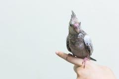 Baby gray cockatiel bird on finger female. Stock Photography