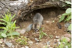 Grey Fox Kit in its Den Stock Images