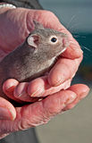 Baby Gray Hamster in Hands. This cute pet baby gray hamster is 3-4 weeks old and is being held gently by a closeup pair of hands royalty free stock images