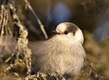 Baby Gray Jay Royalty Free Stock Photos