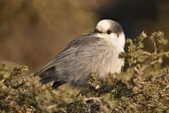 Baby Gray Jay Royalty Free Stock Image