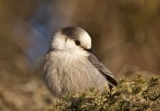 Baby Gray Jay Stock Photos