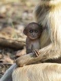 Baby Gray Langur in den Armen der Mutter Stockfotografie