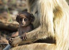 Baby Gray Langur in den Armen der Mutter Lizenzfreies Stockbild