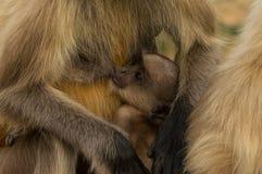 Baby of gray langur monkey Stock Photos