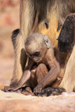Baby Gray langur (Semnopithecus dussumieri) playing near mother, Royalty Free Stock Photography