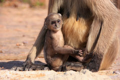 Baby Gray langur (Semnopithecus dussumieri) playing near mother, Royalty Free Stock Images